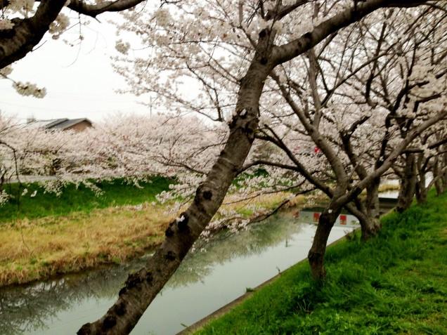 家から近い川原にて。隠れ花見スポットです~