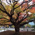 今が盛りの千如寺の大カエデとココロ癒される大悲王院の木造十一面千手千眼観音像に会う萌える秋。