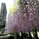 春は花盛り♫COTONEさんのオーガニックコットンと糸島の日本武名のエピソードを持つ雉琴神社の藤を見た週末♫