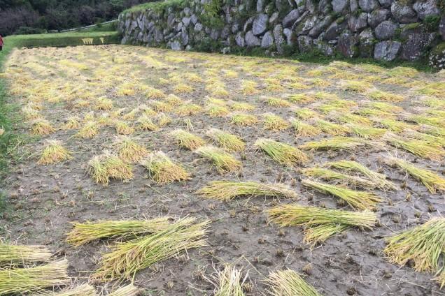 さっぱり綺麗に刈り取られた田んぼ。 気分が良かったです♩