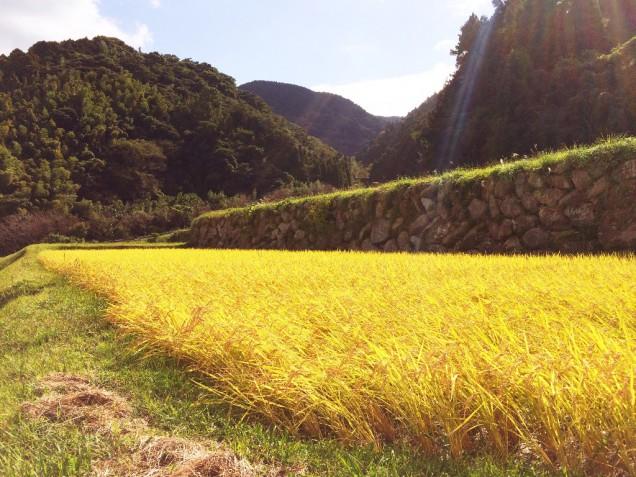 無農薬、無肥料の田んぼ。さわさわと、靡く稲穂がとても綺麗でした★